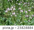 バーベナハスタータの薄紫色の花 23828884