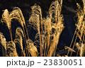 冬の枯れススキ 23830051