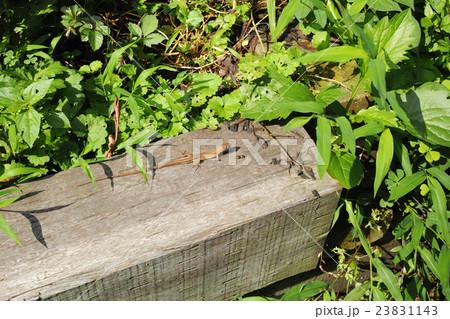 ナメクジを捕食したニホンカナヘビ 23831143