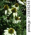 エキナセアの白い花はオワイトスワンの花 23836248