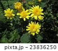 ヒマワリの仲間のヘリアンサスの黄色い花 23836250