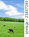 乳牛 ホルスタイン 酪農の写真 23837283