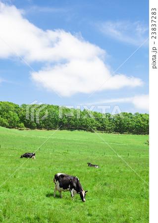 乳牛 23837283