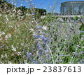 蝶のような形の白い花ガウラと青い色のロシアンセージ青い花 23837613