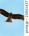 湘南海岸の鷹 23841437