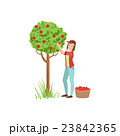 Woman Picking Up Apples From Tree 23842365