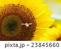 ヒマワリへ向かう ミツバチ honey bee 23845660