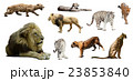 Set of male lion and other big wildcats 23853840