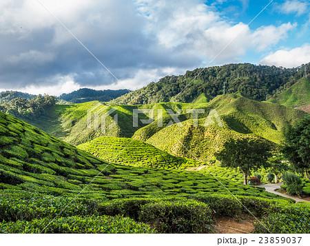 Tea plantation in the Cameron highlands 23859037
