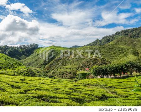 Tea plantation in the Cameron highlands 23859038
