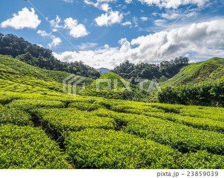Tea plantation in the Cameron highlands 23859039