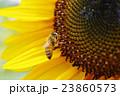 ヒマワリで作業中 ミツバチ honey bee 23860573