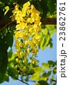 ナンバンサイカチ ジャケツイバラ亜科 国花の写真 23862761