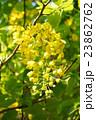 ナンバンサイカチ 国花 マメ科の写真 23862762