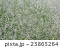 白い小さな花が、霧のように広がる、カスミソウ-3 23865264