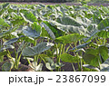 サトイモ畑 23867099