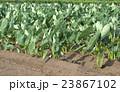 サトイモ畑 23867102