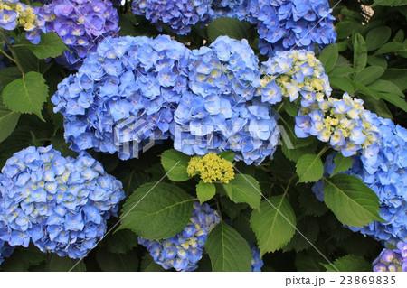 水色の紫陽花の花 23869835