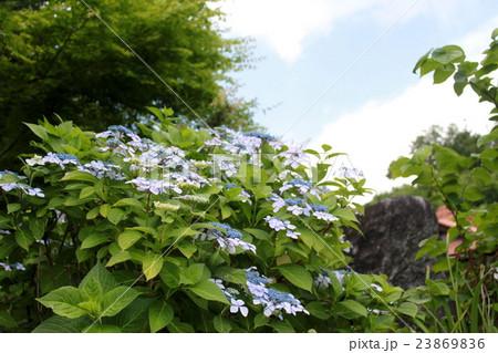 青空に咲くガクアジサイ 23869836