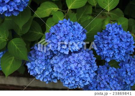 濃い青色のあじさいの花 23869841
