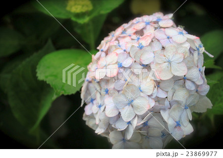 おしゃれな紫陽花の花 23869977