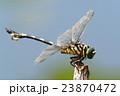 ウチワヤンマ(オス) 23870472