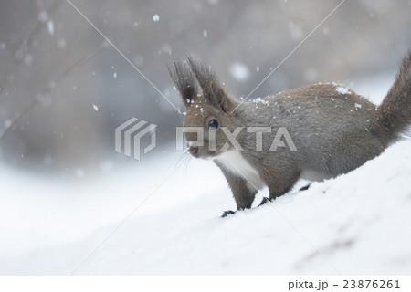冬のエゾリス 23876261