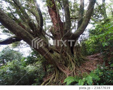 御蔵島 南郷 巨樹の森 23877639