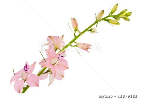 twig with small pink flowers isolatedの写真素材 [23879183] - PIXTA