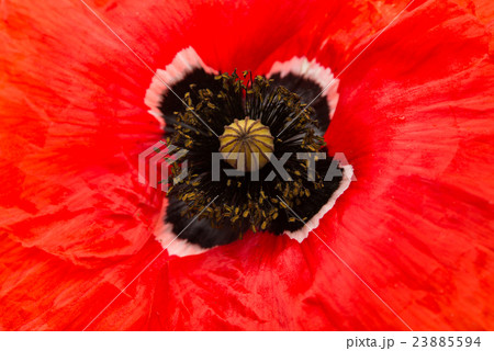 red poppy flower close-up 23885594