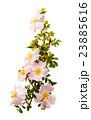 植物 小枝 枝の写真 23885616