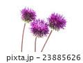 菊科 キク 菊の写真 23885626