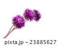 菊科 キク 菊の写真 23885627
