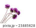 菊科 キク 菊の写真 23885628