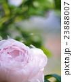 薔薇 花 薄ピンクの写真 23888007