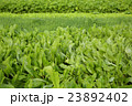 green celery,lettuce and spring onion crops   23892402