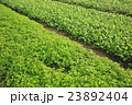 green spring onion and indian lettuce crops  23892404