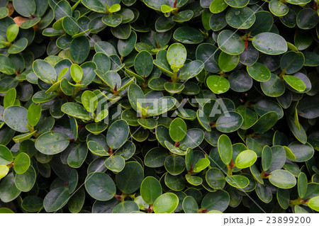 Ornamental climbing plants on fence 23899200