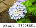 紫陽花 23905851