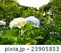 紫陽花 23905853
