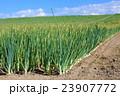 たまねぎ畑 23907772