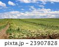 たまねぎ畑 23907828