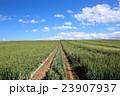 たまねぎ畑 23907937