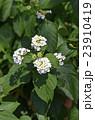 花 ランタナ 七変化の写真 23910419