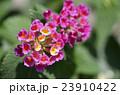 花 ランタナ 七変化の写真 23910422