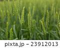 北海道産小麦「きたほなみ」の開花 23912013