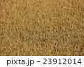 収穫直前!北海道産小麦「キタノカオリ」 23912014