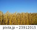 収穫直前!北海道産小麦「キタノカオリ」 23912015