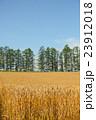 北海道産小麦「キタノカオリ」 実りの丘 23912018