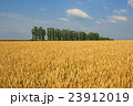 北海道産小麦「きたほなみ」 実りの丘 23912019